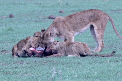 Lions with warthog kill