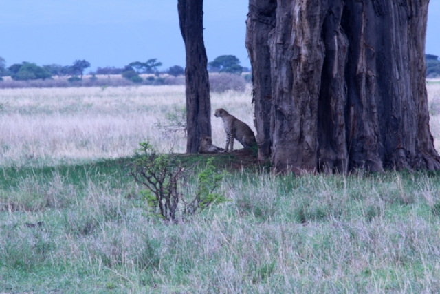 Cheetah under the baobab