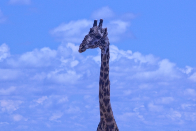 Giraffe in profile and cloudscape