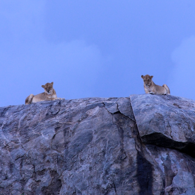 Lions on the rocks