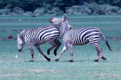 Playing zebras